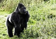 Western Lowland Gorilla Full Body Standing