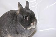 Blue fox netherland dwarf bunny