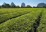 Tea plantation near Guilin - China