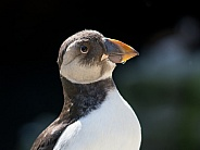 Atlantic puffin baby