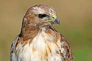 Red-tailed hawk (Buteo jamaicensis)