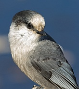 Gray Jay Closeup