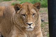 Lioness Ayla