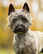West Highland / Cairn Terrier Cross