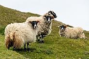 Blackface Sheep (Ovis aries)