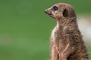 Meerkat On Lookout