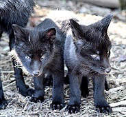 Young Silver Foxes