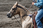 Palomino horse in tack