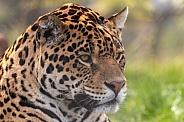 Jaguar Close Up Face Shot