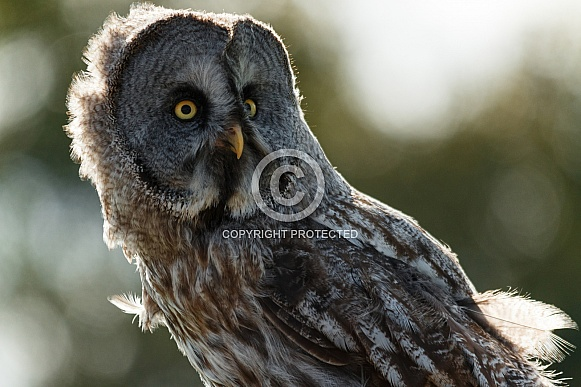 Great Grey Owl Looking Sideways