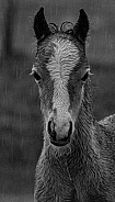 Wild foal in the rain