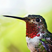 Hummingbird - Broad-tailed Portrait