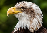 Young Bald Eagle Profile Shot