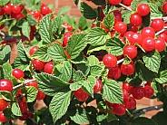 Nanking Berries