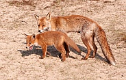 Red fox with young