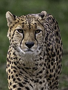 Cheetah Facing Forward Close Up