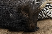 Porcupine Close Up