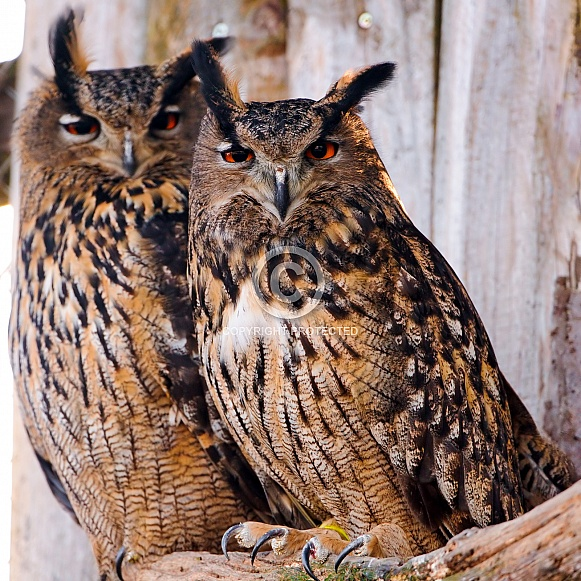 Pair of Eagle Owls