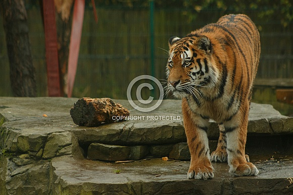 Amur Tiger Standing On Rock Facing The Left Of Shot