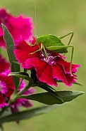 Katydid on dianthus.
