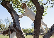 Domestic goat, Capra aegagrus hircus,