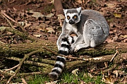 Ring Tailed Lemur In Woodland