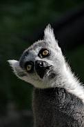 Ringtailed Lemurs