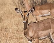 Impala Ewe
