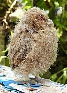 Baby Bengal Eagle Owl