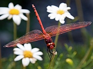 Dragonfly and Summer Flowers