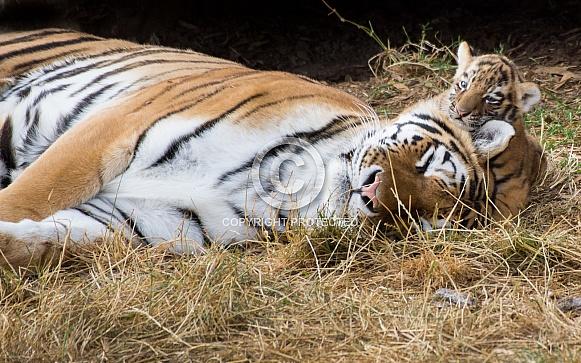 Amur tigress and cub