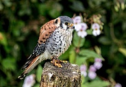 American Kestrel Full Body Side Profile