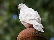 White dove (Columbidae)