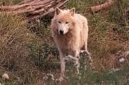 Arctic Wolf Full Body