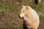 Artic Wolf Close Up
