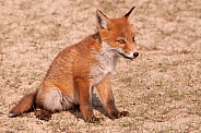 Young Red Fox (vulpes vulpes)
