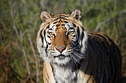 Head shot of a tiger