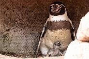 Humboldt Penguin Parent and Chick