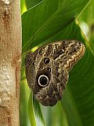 Owl Butterfly (Caligo Memnon)
