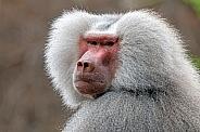 Mantle baboon