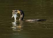 Cormorant Catching Fish