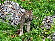Tundra Wolf pup
