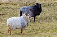 Drenthe Heath sheep