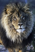 Close up photo of a male African Lion