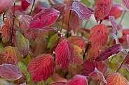 Vibrant Fall Colors on a Cranberry Bush
