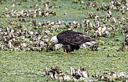 Bald eagle eating in the oyster beds