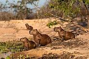 Capybaras On Alert