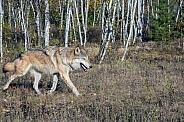 Grey Wolf (Male)