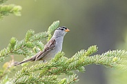 White-crowned Sparrow in a Spruce Tree