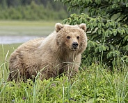 Female bear chewing on a weed